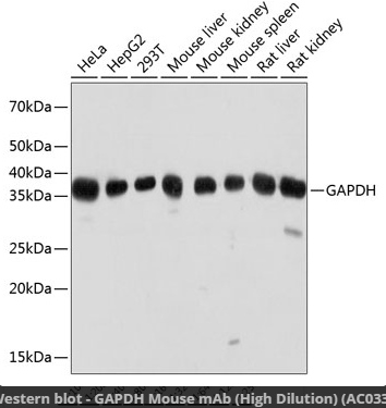 GAPDH Mouse mAb (High Dilution)